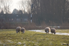 Onze schaapjes